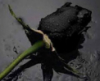 blackreed: (rosa)