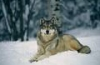 sabrina22: (wolf)