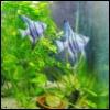 questioncurl: two powder blue angelfish in a planted aquarium (aquarium)