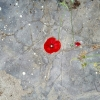 questioncurl: a bright red poppy against a textured concrete background (poppy concrete)