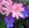 firsttiger: (azalea and viola)