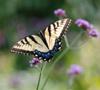 firsttiger: (butterfly)