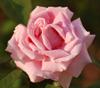 firsttiger: (pinkrose1)