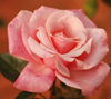 firsttiger: (pinkrose2)