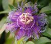 firsttiger: (passionflower)
