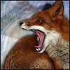 vulgarweed: (foxroar_by_strill)