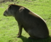starmadeshadow: (Tapir1)