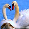 hughville: (Swans)