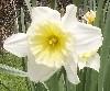 retrowestliberty: (daffodil)