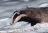winterbadger: (scots badger)