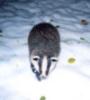winterbadger: (russian badger)