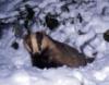 winterbadger: (welsh badger)