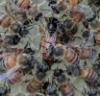 greenwapiti: Casa Raven First Queen (Bee)