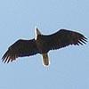 antlers2: (Bald Eagle)