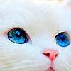 kseenaa: (Cat Blue eyed)