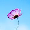 gokuma: (flower)