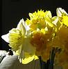 asakiyume: (daffodils)