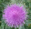 opakele: (Thistle Me This)