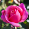 kittyaugust: (Rose) (Default)