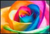 frozenrainmaker: (Rainbow Rose)
