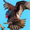 cathartesaura: (vulture landing)