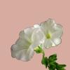 memorde: (flor)