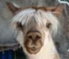 hairlessllama: (Llama)
