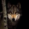 rootsofthestories: (Mic: Wolf)