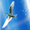 shichahn: (White tern)
