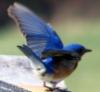 asakiyume: (bluebird)