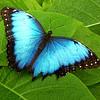 lizziebelle: (Blue Butterfly)