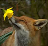 lizziebelle: (fox)