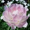 auroramama: (angelique tulip)