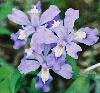 auroramama: (iris cristata)