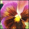 "auroramama: (Pansy ""Dynamite Wine Flash"")"