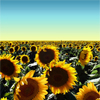 icepixie: ([Photos Stock] Sunflower field)
