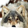 wintaer: (wolf » tired » boooored » sad)