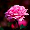 kriegsengel: (Розовая роза)