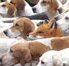 eregyrn: (Fox & Hounds)