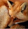 eregyrn: (Fox - cuddly)