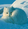eregyrn: (Arctic Fox - blue)