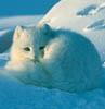 eregyrn: (Arctic Fox - blue)