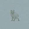 eregyrn: (Arctic Fox - very small)