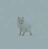 eregyrn: (Arctic Fox - very small)