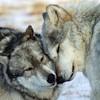 eregyrn: (-wolf nuzzle)