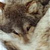 eregyrn: (-wolf curled)