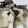 eregyrn: (-wolf rally)