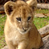 throughaphase: (lion cub)