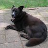 jesse_the_k: Black dog on patio tongue tip showing (BELLA at ease)
