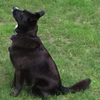jesse_the_k: Black dog sits on grass staring up at squirrel out of frame (BELLA expectant)